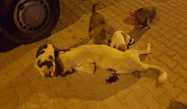 Öldürülen köpeğin yavruları annelerinden ayrılamadı
