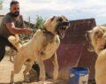 Cezaevleri Kangal köpekleriyle korunacak