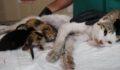 Yavrularını kaybeden kedi, başka yavru kedilere annelik yapıyor