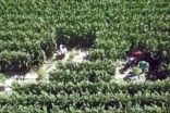 Mısır tarlalarına 'drone'lu kenevir operasyonu: 8 gözaltı