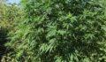 Ormanlık alanda uyuşturucu operasyonu