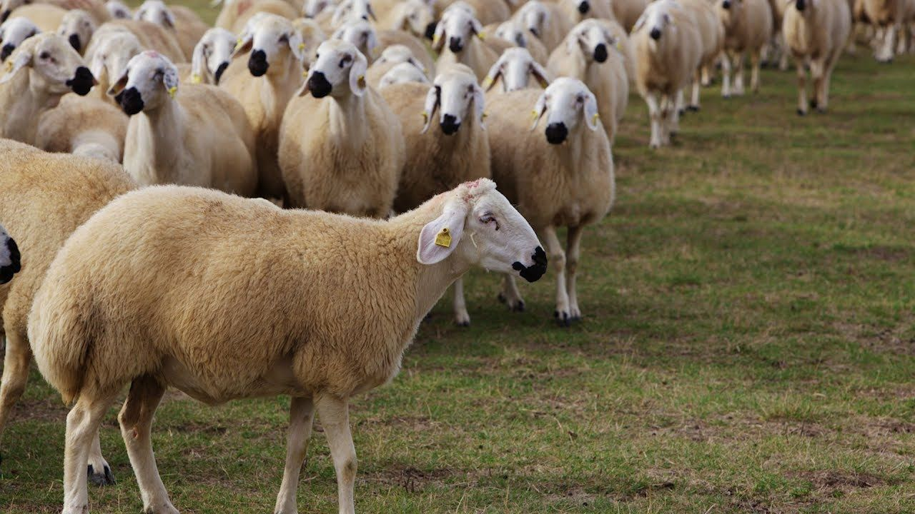 TESK açıkladı: '300 koyun' projesi  köyleri yeniden canlandıracak