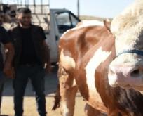Şanlıurfa hayvan pazarında hareketlilik devam ediyor