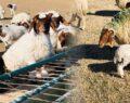 37 bin 200 kuzu annesiyle buluştu
