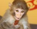 Bu maymun acı çiğköfte yemeden duramıyor