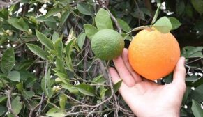 Kış ortasında meyve veren ağaçlar vatandaşı şaşırttı