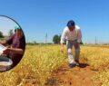 Şanlıurfa'da yerli nohutta hasat zamanı