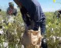 Suruç'ta pamuk ekimi ve hasadı