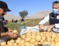 Patates hasadı başladı