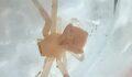 Görenleri hayrete düşüren örümcek