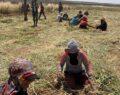 Şanlıurfa'da sarımsak hasadı başladı