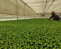 Milyonlarca sebze fidesi elde kaldı