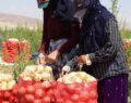 Mevsimlik işçilerinin kavurucu sıcakta soğan sökümü