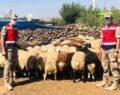 Hayvan dolandırıcıları urfa'da yakalandı