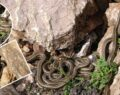 Sürü halindeki yılanlar ürkütüyor